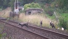 South Shropshire Hunt hound killed by train