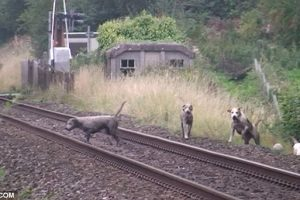 South Shropshire Hunt hound killed by train