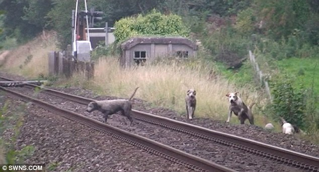 Lost the scent? Hounds are shown on the track - witnesses say that there were up to a dozen on the rails, minutes before a train zooms past