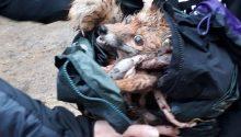 Surrey Union Hunt kill fox