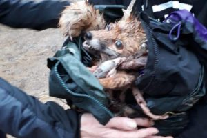Fox ripped to pieces by the Surrey Union Hunt