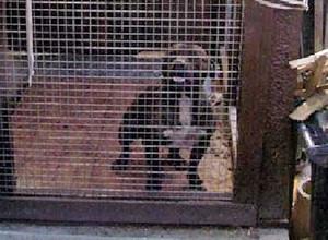William Burrells Staffie Bull Terrier