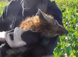 York & Ainsty (South) Hunt kill fox cub