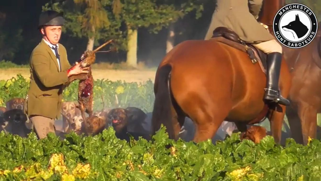 York & Ainsty South Hunt Mark Poskitt is seen picking up the bloodied carcass of a fox cub during hunt